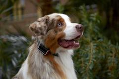 Un collier intelligent pour mieux comprendre votre chien