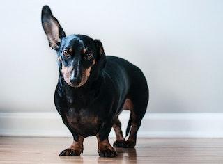 Comment nettoyer les oreilles de mon chien ?