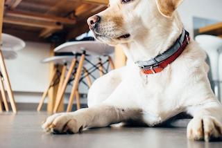 Comment protéger les pattes de mon chien ?